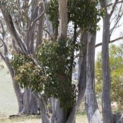 Brachychiton populneus subsp. populneus at Illilanga & Baroona - 12 Jan 2019