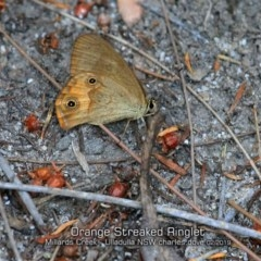 Hypocysta metirius (Brown Ringlet) at Ulladulla - Millards Creek - 31 Jan 2019 by Charles Dove