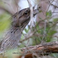 Podargus strigoides (Tawny Frogmouth) at Ulladulla - Millards Creek - 31 Jan 2019 by CharlesDove