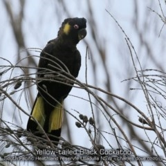 Calyptorhynchus funereus (Yellow-tailed Black-cockatoo) at South Pacific Heathland Reserve - 3 Feb 2019 by Charles Dove