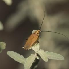 Ellipsidion sp. (genus) (A diurnal cockroach) at ANBG - 7 Feb 2019 by Alison Milton
