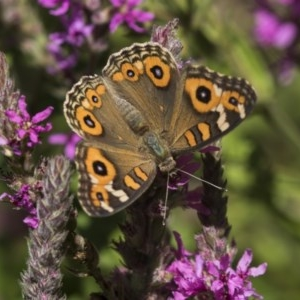 Junonia villida at ANBG - 8 Feb 2019