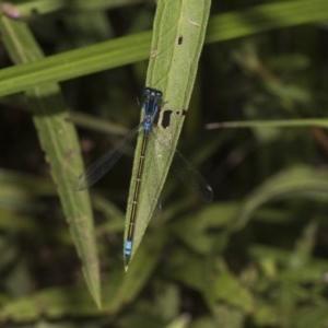 Ischnura heterosticta at ANBG - 8 Feb 2019