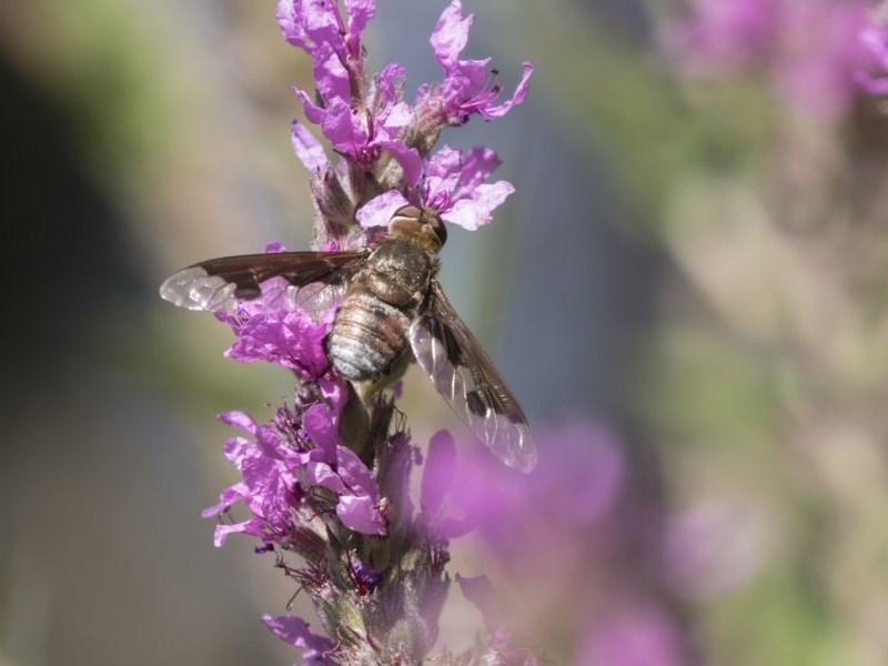 Balaana sp. (genus) at ANBG - 8 Feb 2019