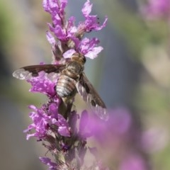 Balaana sp. (genus) (Bee Fly) at Acton, ACT - 7 Feb 2019 by Alison Milton