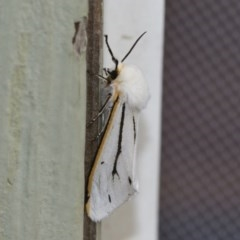 Aloa marginata (Donovan's Tiger Moth) at Michelago, NSW - 2 Feb 2019 by Illilanga