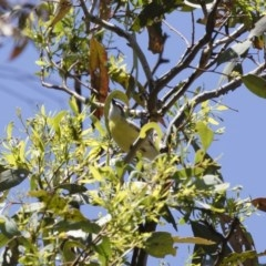 Gerygone olivacea (White-throated Gerygone) at Illilanga & Baroona - 11 Jan 2019 by Illilanga
