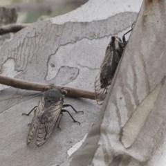 Psaltoda moerens (Redeye cicada) at Michelago, NSW - 30 Dec 2018 by Illilanga