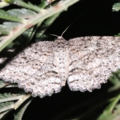 Ectropis fractaria (Ringed Bark Moth) at Ainslie, ACT - 8 Feb 2019 by jbromilow50