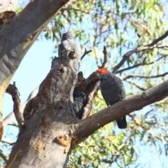Callocephalon fimbriatum (Gang-gang Cockatoo) at Stirling Park - 8 Feb 2019 by Ratcliffe