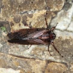 Tettigarcta crinita (Alpine Hairy Cicada) at Namadgi National Park - 7 Feb 2019 by ibaird