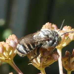 Megachile sp. (several subgenera) at Kambah, ACT - 9 Feb 2019
