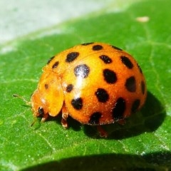 Epilachna sumbana (Leaf-eating ladybird) at Kambah, ACT - 9 Feb 2019 by HarveyPerkins