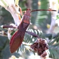 Melanacanthus scutellaris (Small brown bean bug) at Ainslie, ACT - 7 Feb 2019 by jbromilow50
