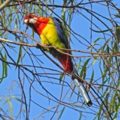 Platycercus eximius (Eastern Rosella) at Macarthur, ACT - 7 Feb 2019 by RodDeb