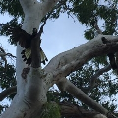Zanda funereus (Yellow-tailed Black-Cockatoo) at Red Hill Nature Reserve - 8 Feb 2019 by KL