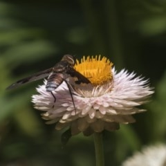 Balaana sp. (genus) (Bee Fly) at ANBG - 7 Feb 2019 by Alison Milton