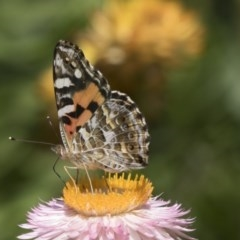 Vanessa kershawi (Australian Painted Lady) at ANBG - 7 Feb 2019 by AlisonMilton