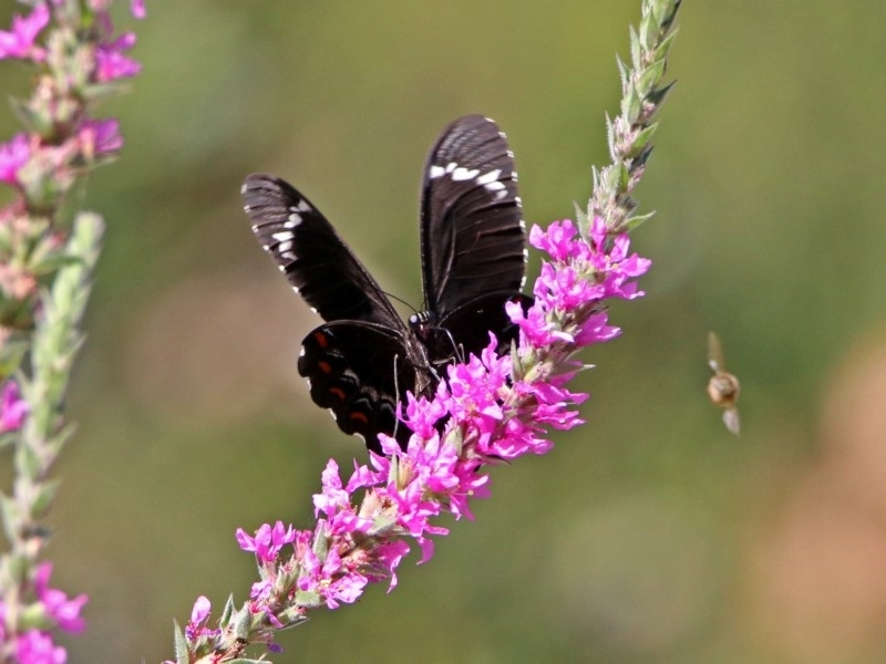 Papilio aegeus at ANBG - 8 Feb 2019