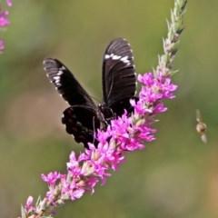 Papilio aegeus (Orchard Swallowtail) at Acton, ACT - 7 Feb 2019 by RodDeb