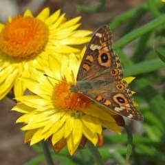 Junonia villida (Meadow Argus) at ANBG - 8 Feb 2019 by RodDeb