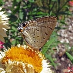 Jalmenus ictinus (Stencilled Hairstreak) at ANBG - 8 Feb 2019 by RodDeb