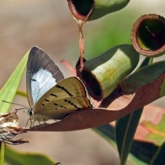 Jalmenus evagoras (Imperial Hairstreak) at ANBG - 8 Feb 2019 by RodDeb