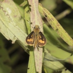 Ocybadistes walkeri (Greenish Grass-dart) at ANBG - 7 Feb 2019 by Alison Milton