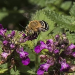 Amegilla (Zonamegilla) asserta (Blue Banded Bee) at ANBG - 8 Feb 2019 by Alison Milton