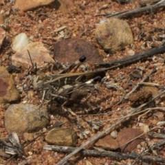 Oedaleus australis (Australian Oedaleus) at ANBG - 8 Feb 2019 by Alison Milton