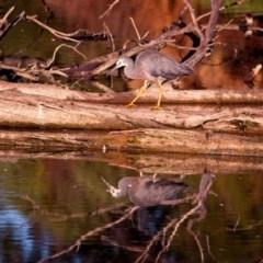 Egretta novaehollandiae (White-faced Heron) at Jerrabomberra Wetlands - 9 Feb 2019 by GlennMcMellon