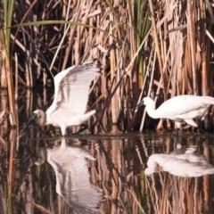 Platalea regia (Royal Spoonbill) at Jerrabomberra Wetlands - 9 Feb 2019 by GlennMcMellon