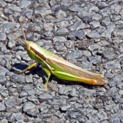 Bermius brachycerus (A grasshopper) at Tuggeranong DC, ACT - 9 Feb 2019 by RodDeb