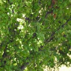 Prunus cerasifera (Cherry Plum) at Tuggeranong DC, ACT - 9 Feb 2019 by RodDeb