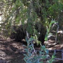 Vombatus ursinus (Wombat) at Point Hut to Tharwa - 9 Feb 2019 by RodDeb