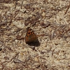 Junonia villida (Meadow Argus) at Isaacs Ridge and Nearby - 8 Feb 2019 by Mike