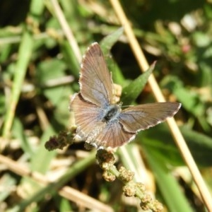 Theclinesthes serpentata at Jerrabomberra Wetlands - 9 Feb 2019