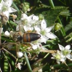 Apis mellifera (European honey bee) at Isaacs, ACT - 10 Feb 2019 by Mike