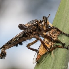Blepharotes splendidissimus (Giant Blue Robber Fly) at Melba, ACT - 10 Jan 2019 by kasiaaus