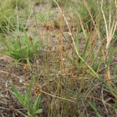 Juncus sp. (A rush) at Mount Painter - 7 Feb 2019 by CathB