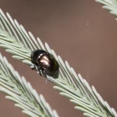 Ditropidus sp. (genus) (Leaf beetle) at The Pinnacle - 10 Feb 2019 by AlisonMilton