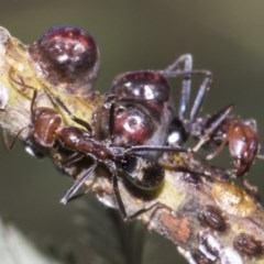 Iridomyrmex purpureus (Meat Ant) at The Pinnacle - 10 Feb 2019 by AlisonMilton