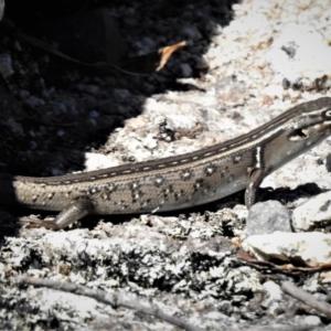 Liopholis whitii at Namadgi National Park - 10 Feb 2019