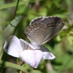 Zizina otis (Common Grass-blue) at Namadgi National Park - 10 Feb 2019 by HarveyPerkins
