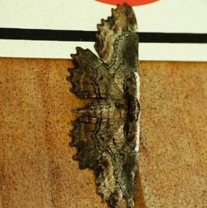 Pholodes sinistraria at Brogo, NSW - 12 Feb 2019