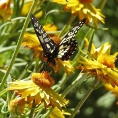 Papilio anactus at ANBG - 11 Feb 2019