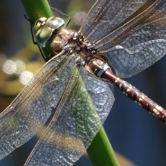 Adversaeschna brevistyla (Blue-spotted Hawker) at Rendezvous Creek, ACT - 11 Feb 2019 by roymcd