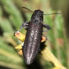 Rhinotia sp. in brunnea-group (A belid weevil) at Mount Ainslie - 11 Feb 2019 by jbromilow50
