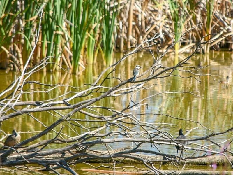 Todiramphus sanctus at Jerrabomberra Wetlands - 10 Feb 2019