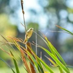 Acrocephalus australis (Australian Reed-Warbler) at Jerrabomberra Wetlands - 10 Feb 2019 by frostydog